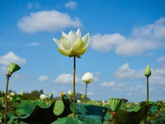 Samatoa Lotus Farm is near to Siem Reap